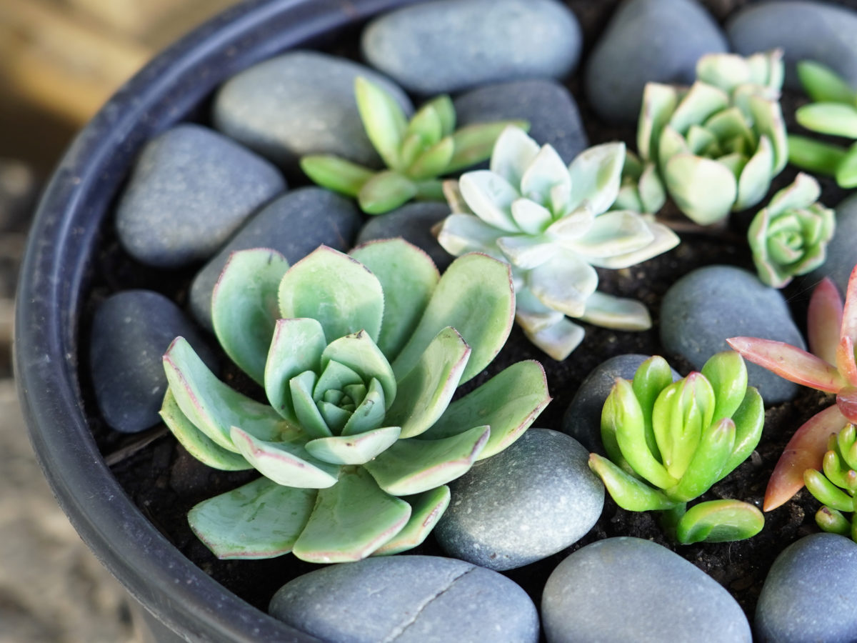 Black Mexican beach pebble rock in succulent pot